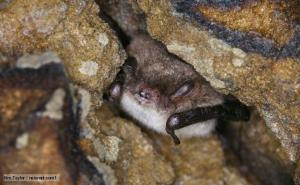 Daubenton's bat (Myotis daubentonii) tucked away in a crevice. Photo credit: Kim Taylor