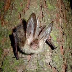 Brown long-eared bat (Plecotus auritus). Photo credit: John Altringham