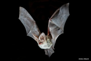 Grey long-eared bat in flight