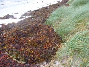 seaweed marram