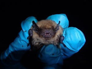 Pipistrellus pygmaeus (Soprano Pipistrelle) in the hand. Soprano pips are actively breeding in the plantations.