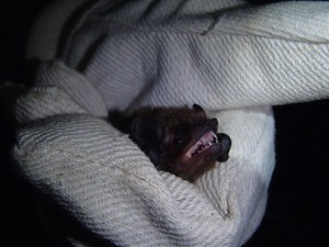 Nyctalus leisleri (Leislers Noctule) in the hand. More species are using the plantation than previously thought