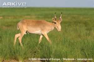 Male saiga...but look at those plants! Loads of food and quality habitat there... Image: ARKive.org