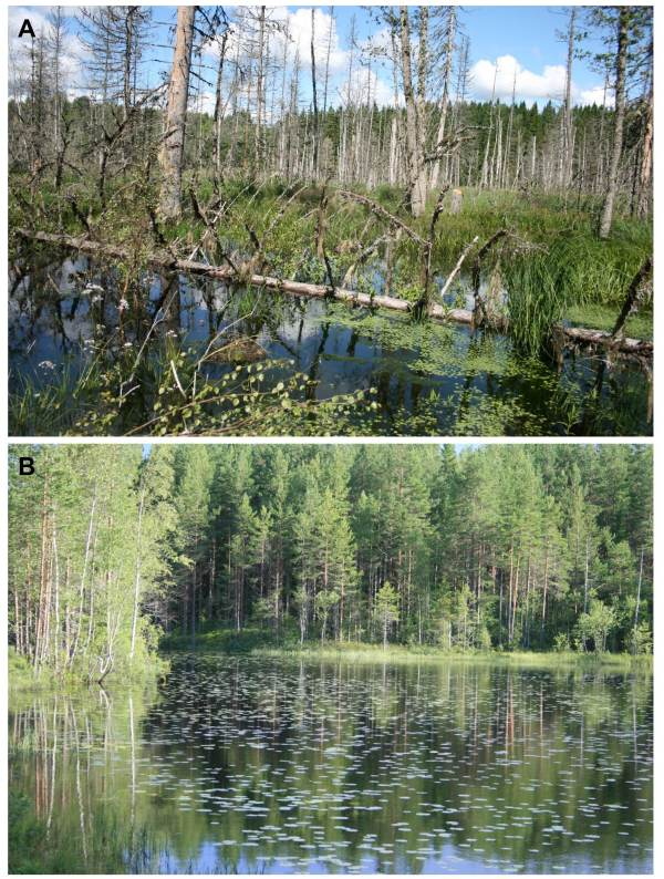 Fig. 4 An example of a; A – beaver-created pond and B – control wetland. Note the beaver-generated woody debris, standing dead wood and openings in the canopy in beaver ponds.