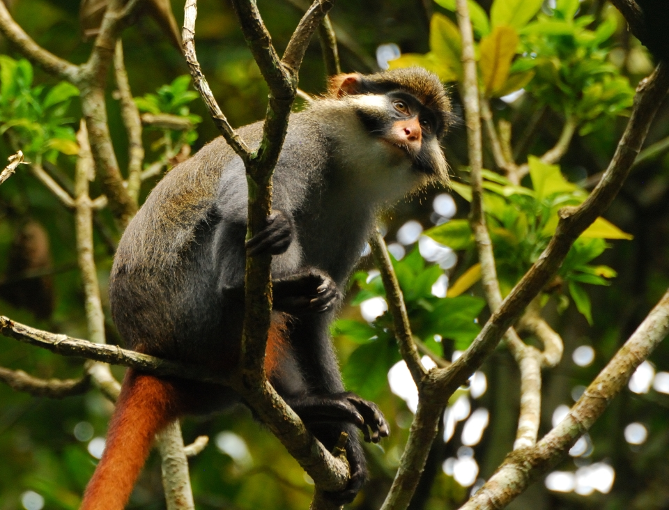 red-tailed guenon