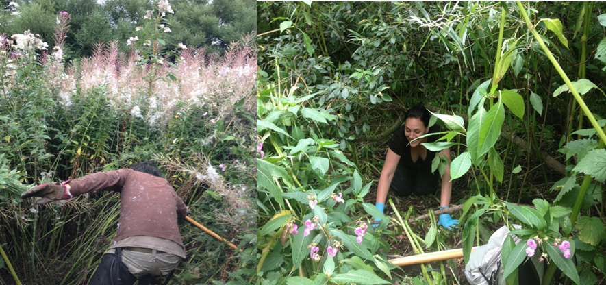 Trying to climb through trees and 4 metre high Himalayan balsam on the River Endrick, whilst David fights through brambles and Rose Bay Willow herb on the Black Cart Water.