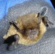 Common Pipistrelle caught during a trapping session in a woodland.