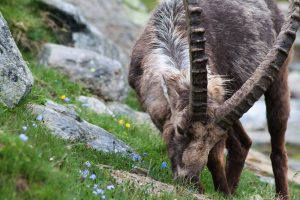 Alpine ibex. Image: Tom Mason