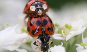 Harlequin-ladybirds-007