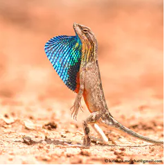 Superb fan-throated lizard